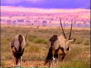 Oryx Antilopen in der Wildnis